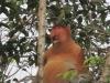 Das Alpha-Männchen einer Proboscis-Gruppe (Foto: katarina , Sungai Kinabatangan, Sabah, Malaysia am 19.02.2011) [2169]