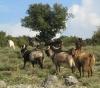 Ziegen in den Bergen hinter Parga (Foto: chari , Parga, Epirus, Griechenland am 19.04.2011) [2227]