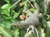 Monitor Lizard am Kinabatangan - egal wie schnell das Boot unterwegs ist, unser Guide entdeckt vieles :-) (Foto: katarina , Sungai Kinabatangan, Sabah, Malaysia am 12.01.2012) [2667]