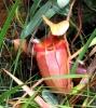 Pitcher-Plant - Kannenpflanze (Foto: katarina , Gunung Kinabalu, Sabah, Malaysia am 08.01.2012) [2836]