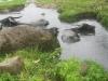 Wasserbüffel in der Schwefel-Badewanne (Foto: katarina , Berastagi, Sumatra, Indonesien am 16.04.2015) [4421]
