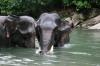 Sumatra-Elefanten beim Baden (Foto: chari , Tangkahan, Sumatra, Indonesien am 23.04.2015) [4435]