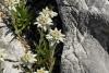 Edelweiß im Alpengarten Schachen (Foto: Bbb auf wikivoyage , Zugspitze, Nördliche Kalkhochalpen 01, Deutschland am 05.08.2007) [5110]