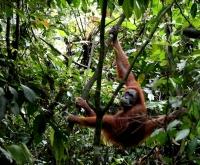 Orang-Utan (Foto: chari , Bukit Lawang, Sumatra, Indonesien am 22.04.2015) [4612]