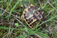Schildkröte am Straßenrand (Foto: chari , Tavignano-Tal, Korsika, Frankreich am 15.10.2016) [4740]