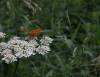Schmetterling - Kaisermantel (Foto: chari , Vulkaneifel, Osteifel 27, Deutschland am 25.06.2017) [4852]