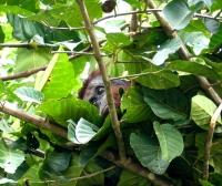 Orang-Utan schaut aus seinem Nest herab (Foto: Klaus Echsler , Sungai Kinabatangan, Sabah, Malaysia am 11.01.2018) [5258]